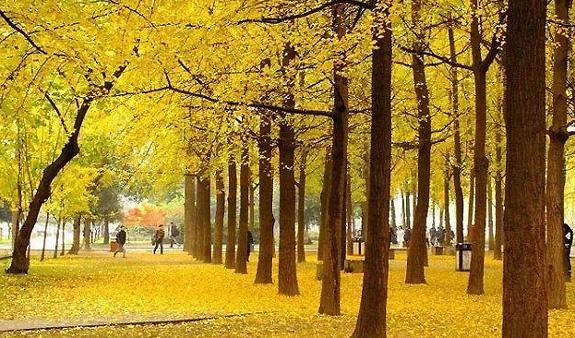 十月末,成都12个赏银杏地方