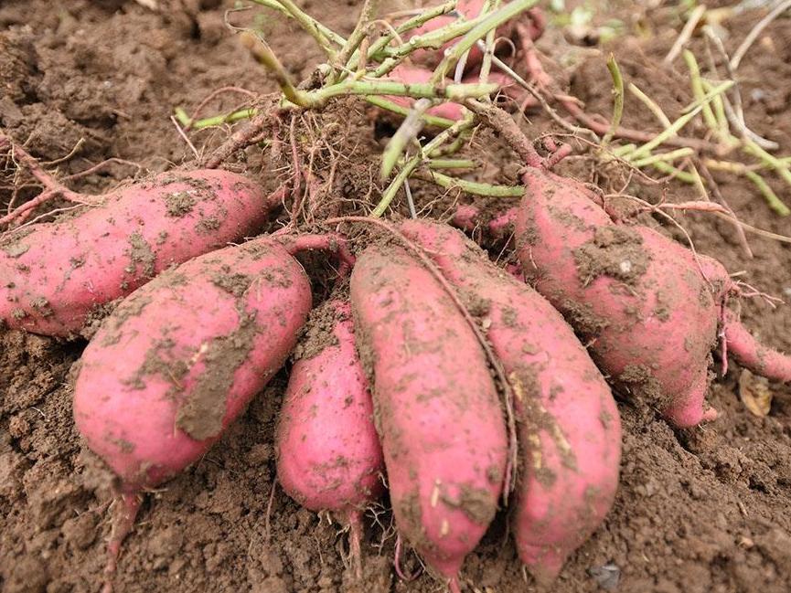 红薯丸家常做法,适合新手学,金黄酥脆,软糯香甜,孩子们吃嗨了
