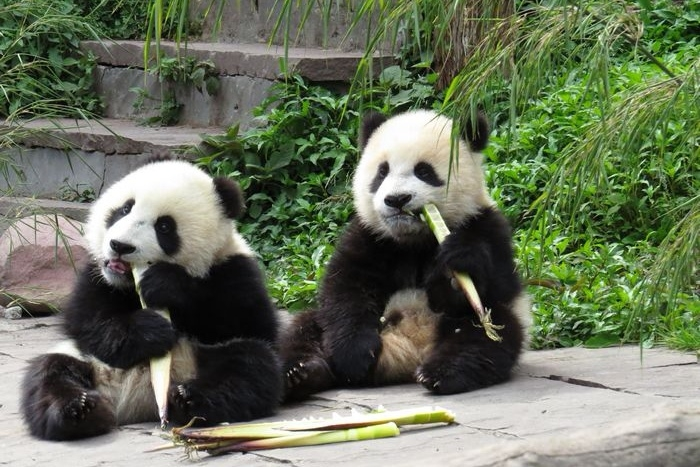 十月去哪儿旅行?非常适合一家老小去的地方,四川三个大熊猫基地